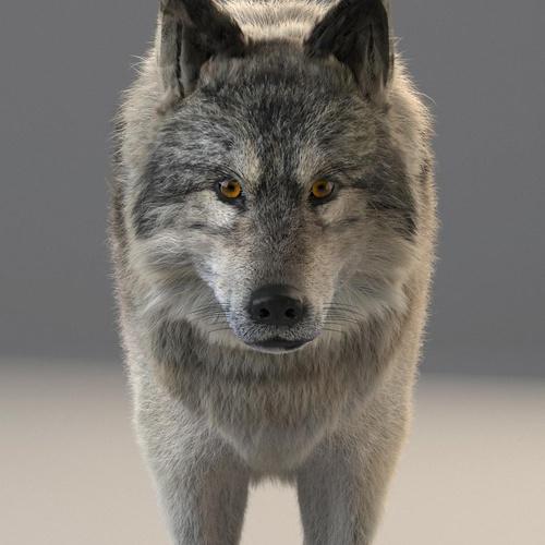 3d model realistic wolf