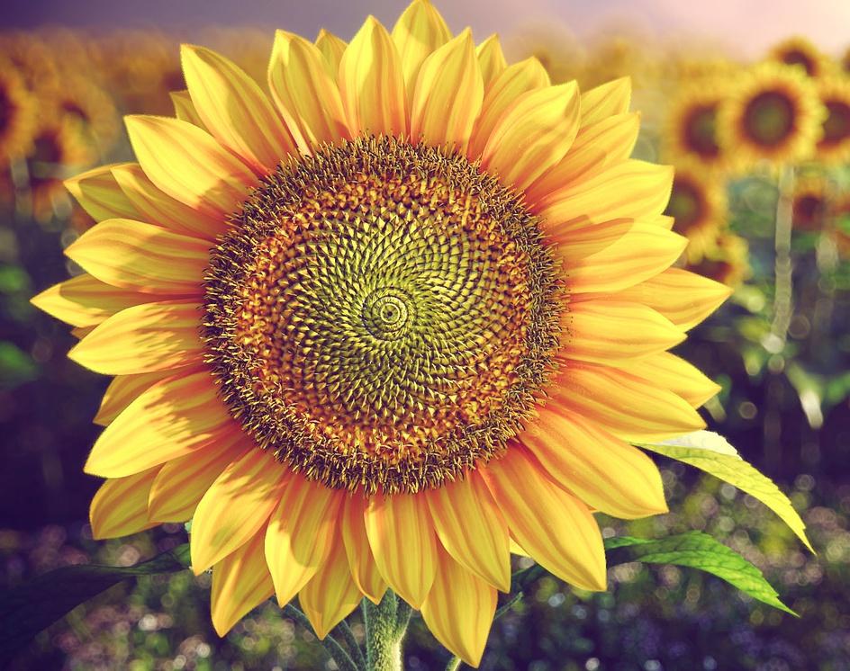 Sunflowerby Hua ZhengQiang