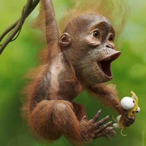 animal orangutan