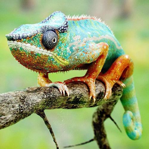 animal chameleon