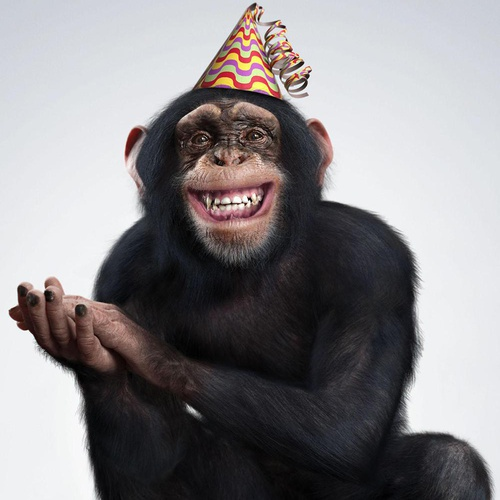 animal chimpanzee