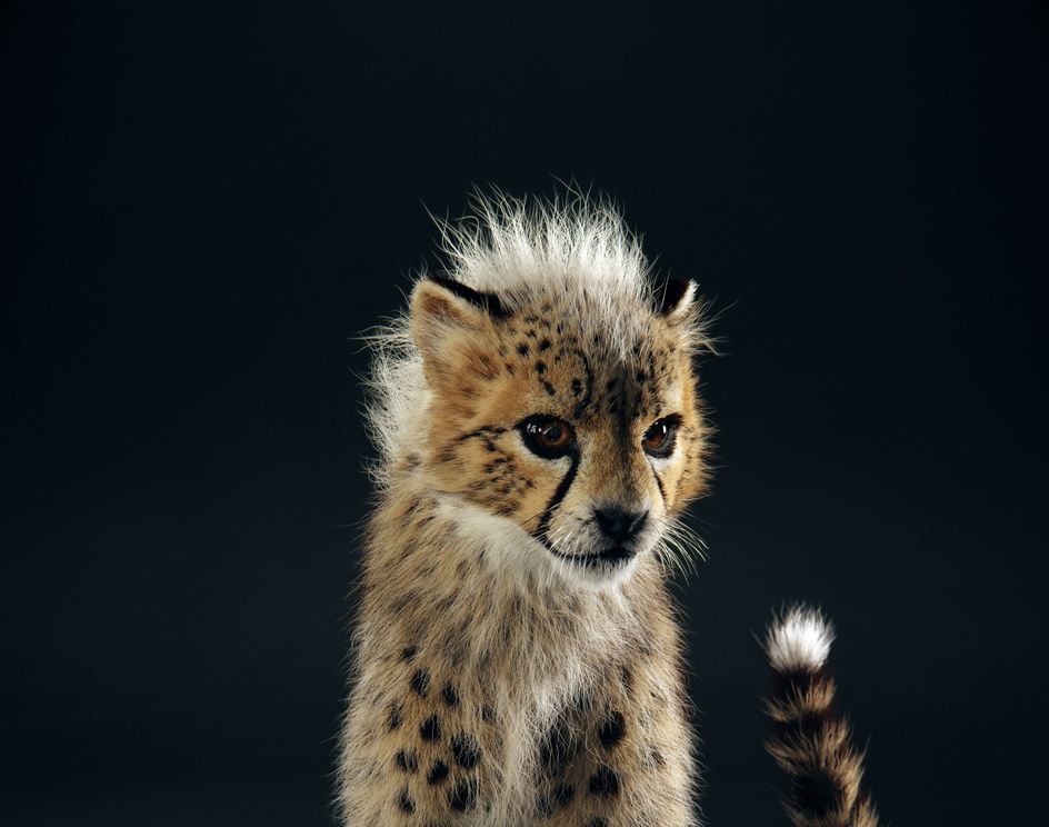 The Baby Cheetah in studioby Yuriy Dulich
