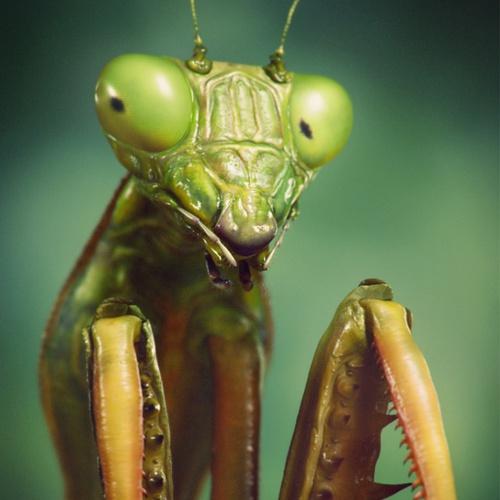 animal praying mantis