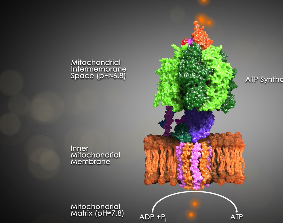 ATP Synthaseby scyrus