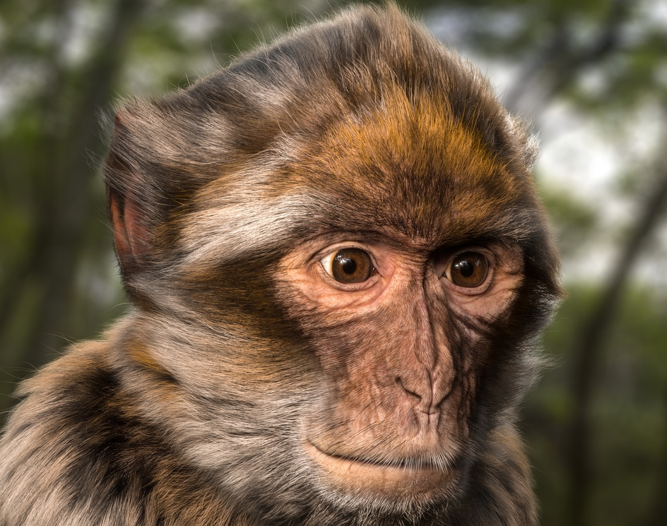 Barbary Macaqueby Shariq-Alt