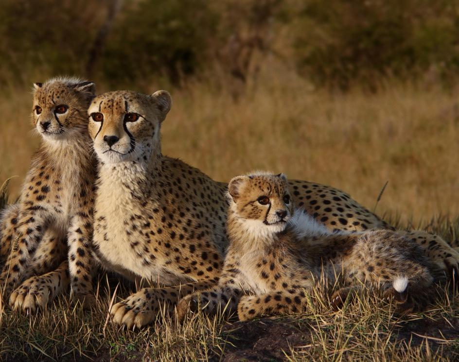 Cheetah Familyby Yuriy Dulich
