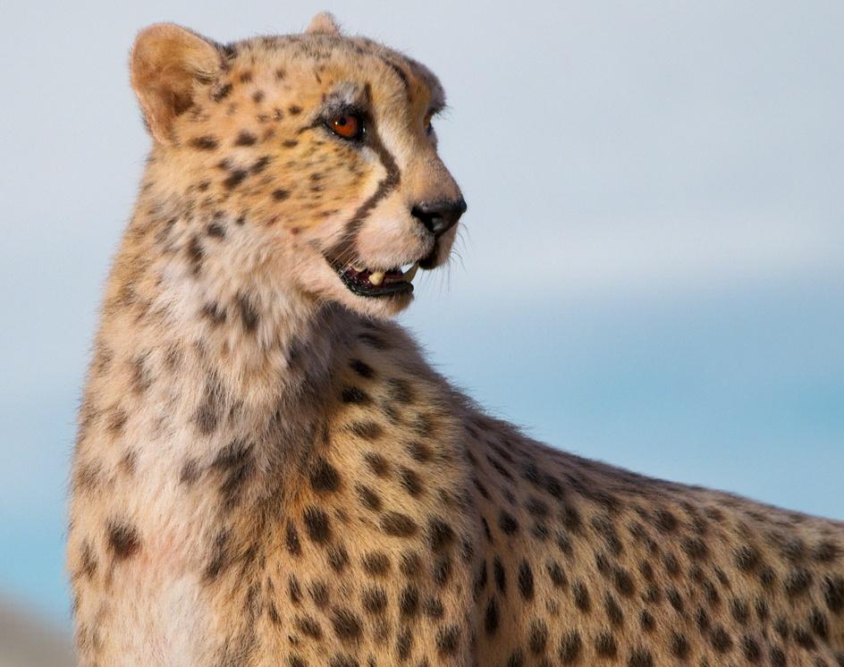 The Cheetahby Esteban Ariza