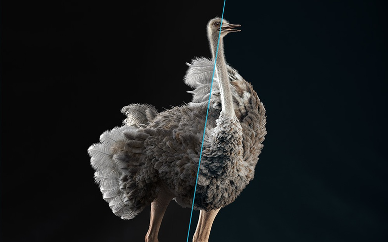 Studio set up for a Somali ostrich