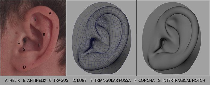 Breaking down the reference of the ear to guide the edge loops