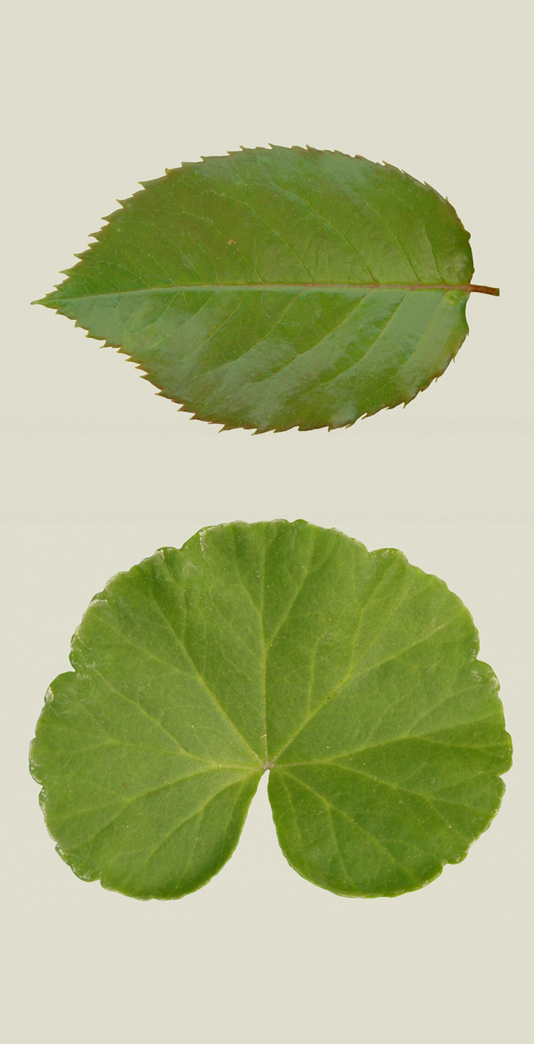 Leaf textures from www.cgtextures.com