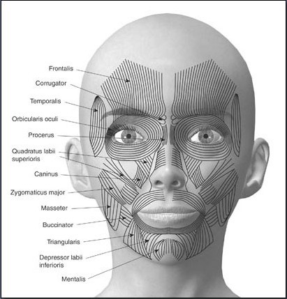 Fig. 6-2 The muscles of the head are divided into three groups: scalp, face, and mastication.