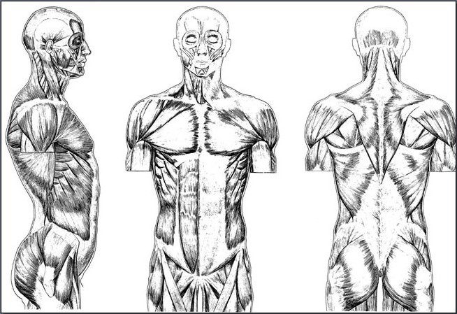 Fig. 6-15 The muscles of the upper body.