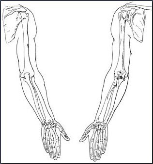 Fig. 6-20 Front and back views of the arm bones.