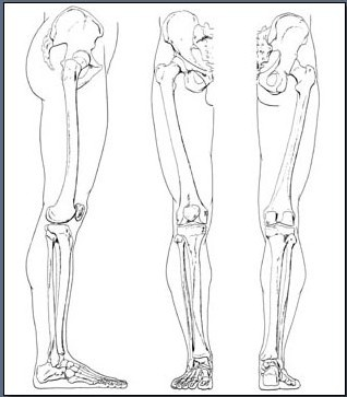 Fig. 6-25 The bones of the leg and feet.