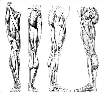Fig. 6-26 The muscles of the leg.