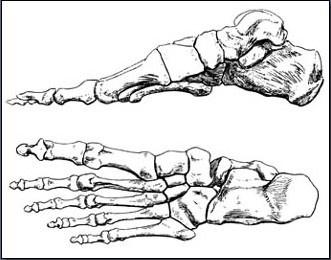 Fig. 6-29 The foot bones.