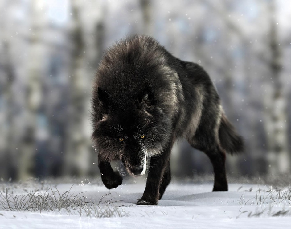 Black Timber Wolfby Massimo Righi