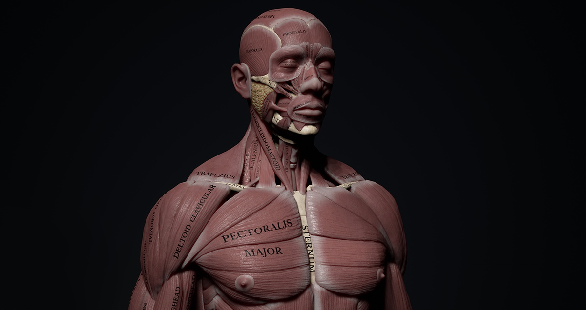 muscle body character 3d model