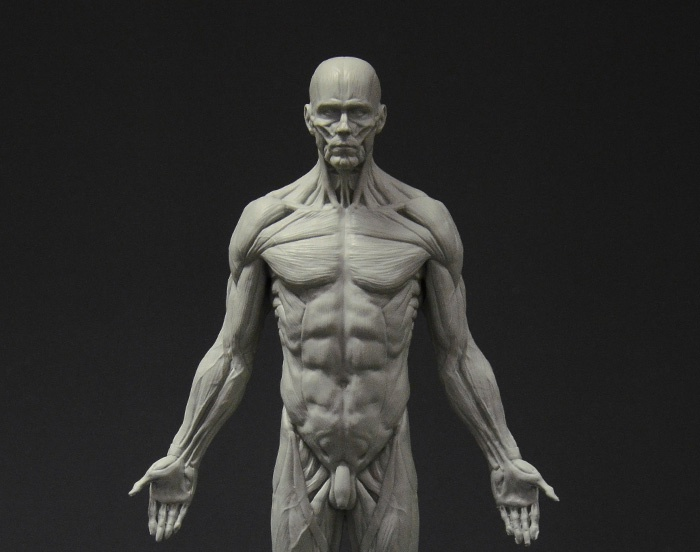 Male full ecorche reference figureby 3dtotal staff