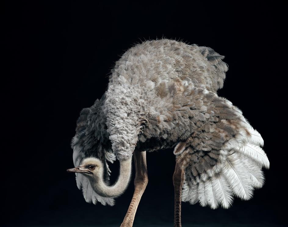 Somali Ostrichby Yuriy Dulich