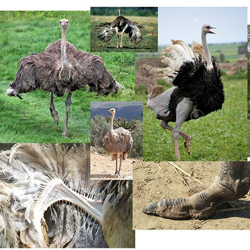 Somali ostrich references