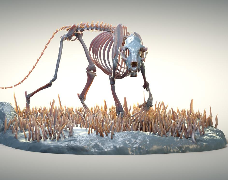 Panthera pardus skeletonby Kylian Zannettacci