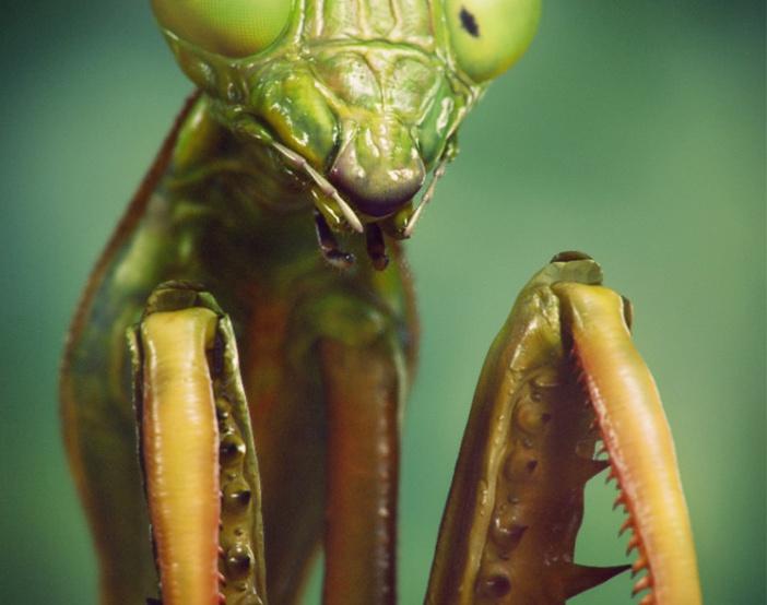 Praying Mantis Macroby Victormf